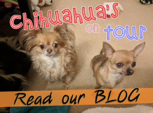 chihuahuas on tour blog